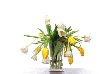 Co robic jak przekwitnie tulipan?