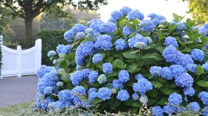 Co zrobić aby hortensje kwitły na niebiesko?