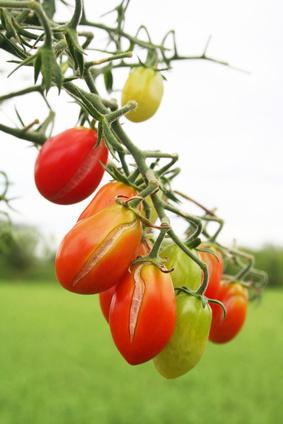 Dlaczego pomidory pękają na krzaku?