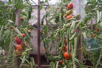 Dlaczego pomidory więdną?
