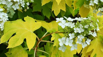 Hortensje dlaczego żółkną liście?