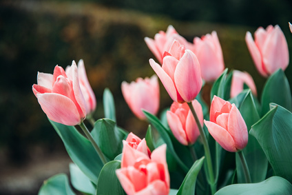 Jak długo kwitnie tulipan?