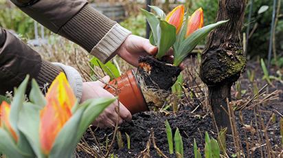 Jak i kiedy sadzić tulipany jesienią?