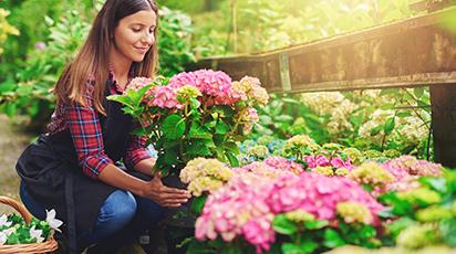 Kiedy i jak nawozić hortensje, aby obficie kwitły?