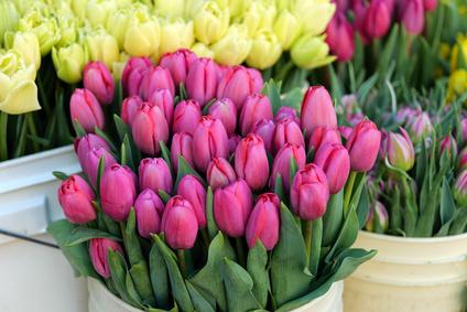 Tulipan jak długo wytrzyma?