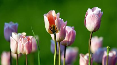 Co zrobić z tulipanami, gdy przekwitną?