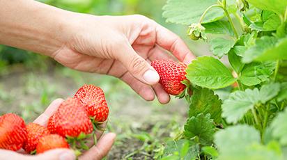 Czas posadzić truskawki! Warunki i zasady jesiennego sadzenia