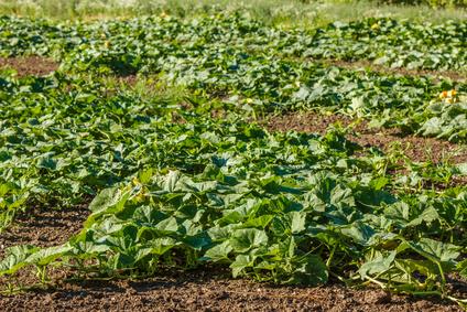 Dynie, Cukinie, Bakłażany, Arbuzy - Jak uprawiąć warzywa płożące