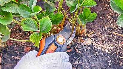 Jak przygotować truskawki na zimę?