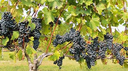 Kalendarz pielęgnacji winorośli