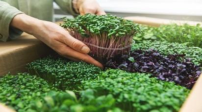 Microgreen - kiełki warzyw czyli to, co najlepsze z natury