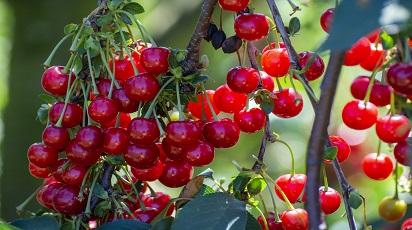Najważniejsze zasady sadzenia i pielęgnacji wiśni