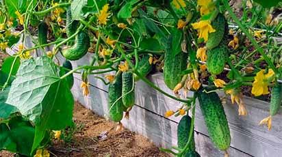 Nasiona ogórków - odmiany i terminy wysiewów