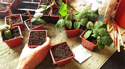 Ogórki na parapecie. Sadzenie i uprawa ogórków w doniczce!