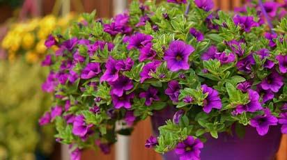 Petunie - najpiękniejsze odmiany i zasady uprawy