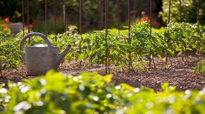 Pielęgnacja pomidorów w czerwcu
