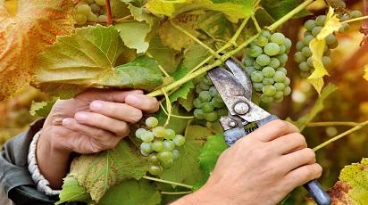 Pielęgnacja winorośli