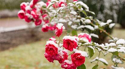 Przygotowanie róż na zimę - plan jesiennej pracy