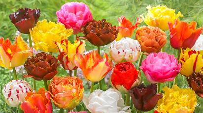 Tajniki uprawy tulipanów