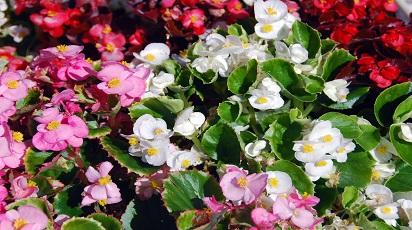 Uprawa i rozmnażanie begonii