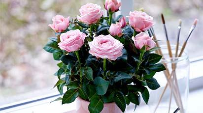 Uprawa róży w donicy