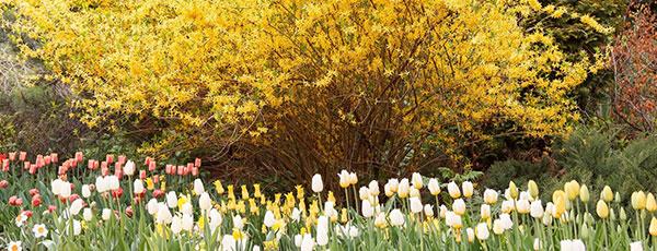 Forsycja - kolorowy zwiastun wiosny