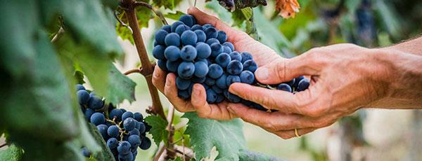 Instrukcja sadzenia winorośli na wiosnę