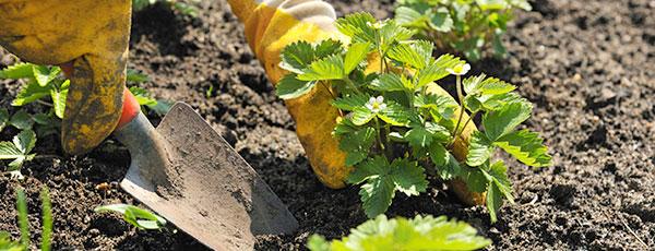 Kiedy i jak sadzić truskawki wiosną?