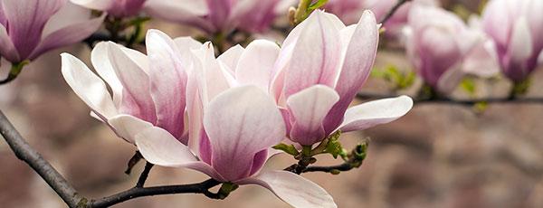 Magnolia - tajniki pielęgnacji