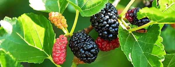 Morwa - sadzenie, uprawa i pielęgnacja