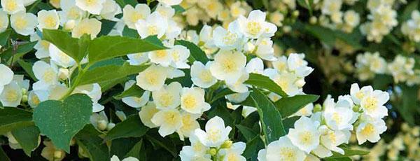 Uprawa jaśminowca - porady ogrodnicze