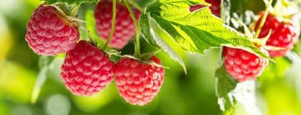 Zasady wiosennego sadzenia malin