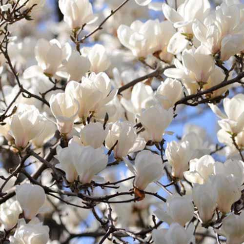 Magnolia Alba Superba interface.image 1 interface.art 9592