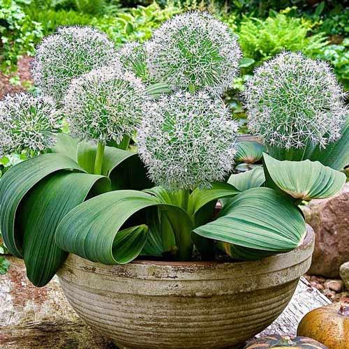 Czosnek (Allium) Ivory Queen interface.image 1 interface.art 67297