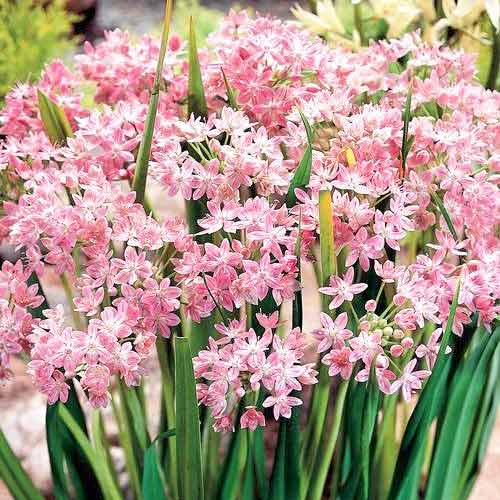 Czosnek (Allium) Roseum interface.image 1 interface.art 67302
