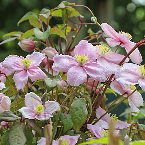 Clematis (Powojnik górski) Grandiflora interface.image 1 interface.art 9052
