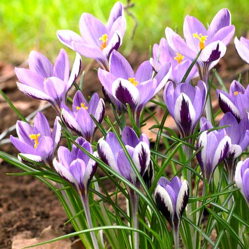 Krokus Spring Beauty interface.image 1 interface.art 67342
