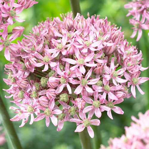 Czosnek (Allium) Pink Jewel interface.image 1 interface.art 67300