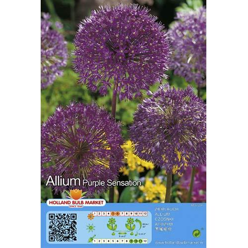 Czosnek (Allium) Purple Sensation interface.image 1 interface.art 67301