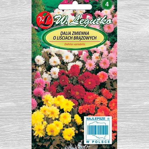 Dalia zmienna karłowa Diablo, mieszanka o brązowych liściach Legutko interface.image 1 interface.art 69579