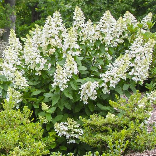 Hortensja bukietowa Grandiflora interface.image 1 interface.art 9036