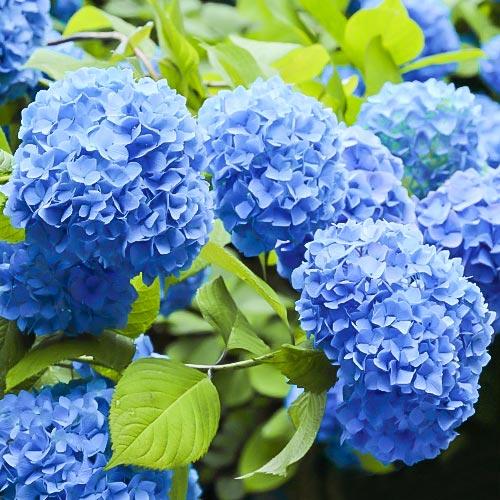 Hortensja ogrodowa Nikko Blue interface.image 1 interface.art 9031
