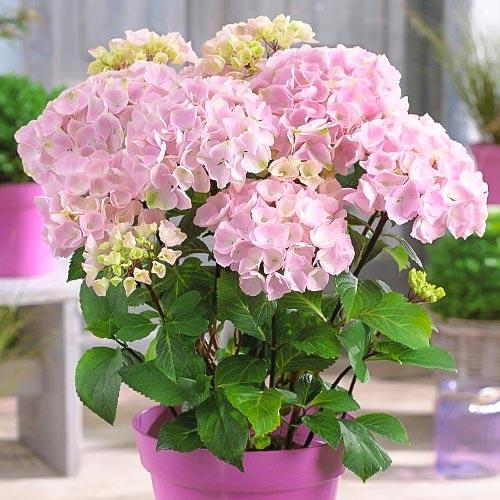 Hortensja ogrodowa Pink interface.image 1 interface.art 9174