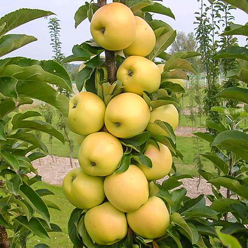 Jabłoń kolumnowa Bolero