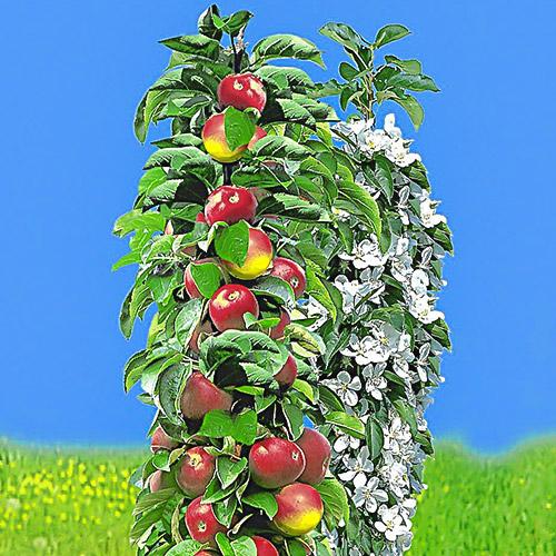 Jabłoń kolumnowa wczesna
