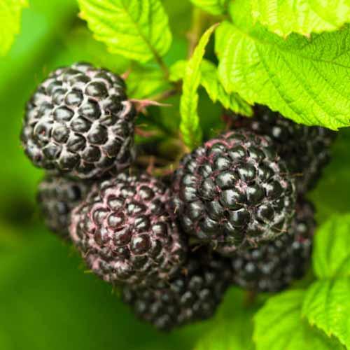 Malina czarna Black Jewel