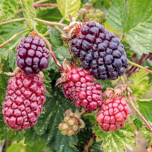 Malinojeżyna Boysenberry interface.image 1 interface.art 7508