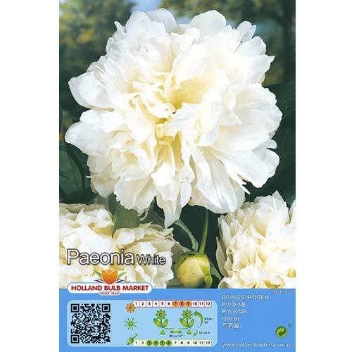 Piwonia White