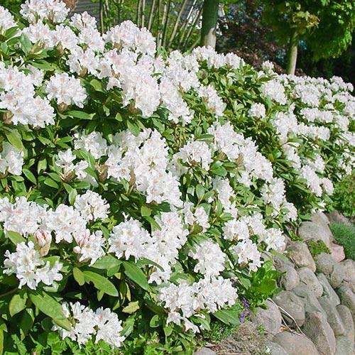 Rhododendron (Różanecznik) Cunningham`s White interface.image 1 interface.art 9088