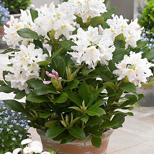 Rhododendron (Różanecznik) Cunningham`s White interface.image 2 interface.art 9088